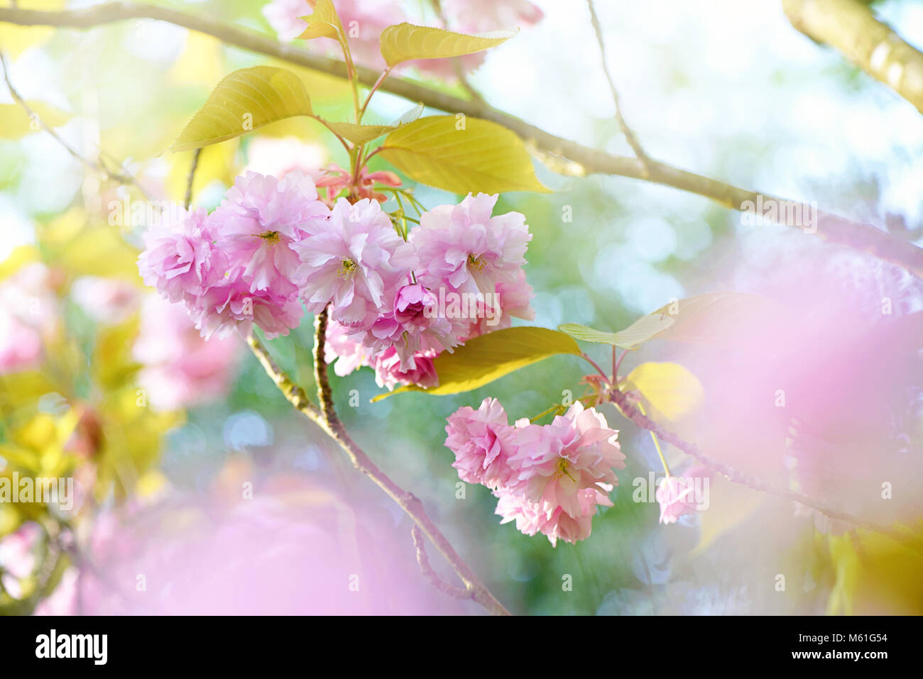 Fluffy Pink Blossom Stock Photos Fluffy Pink Blossom Stock Images