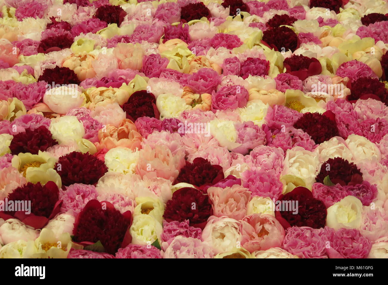 A densely packed display of blowsy, beautiful peonies in multiple hues of pink, cream and crimson at RHS Chelsea - Stock Image
