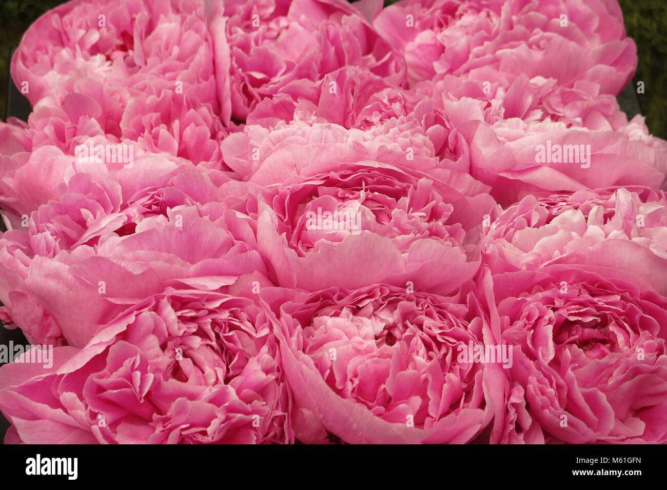 A dozen pink peonies in full bloom at RHS Chelsea Flower Show, May 2017 - Stock Image