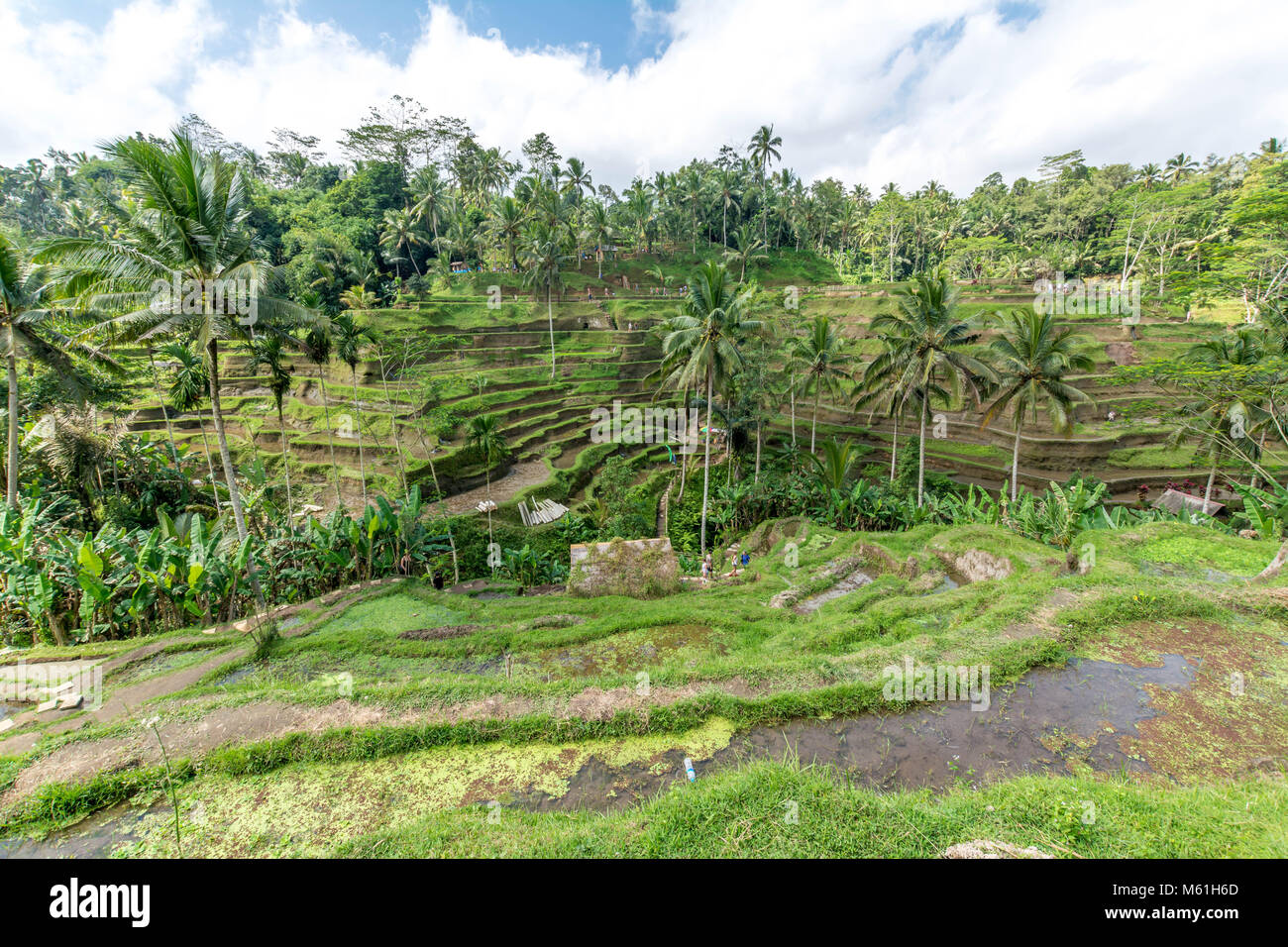 Rice terraces in Tegallalang, Ubud, Bali, Indonesia - Stock Image