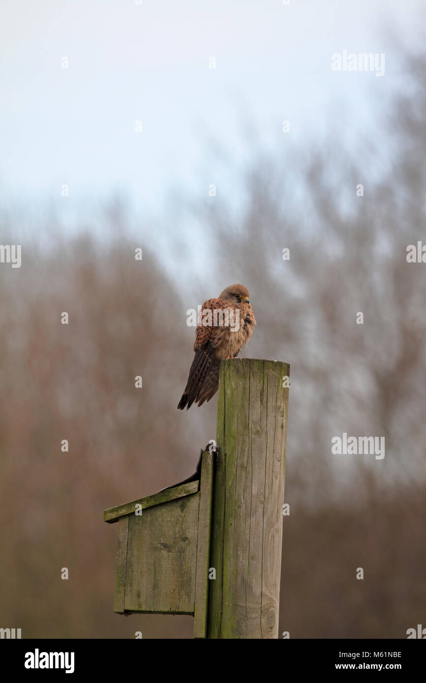Kestrel, Falco tinnunculus perched on a pole above a sparrow nesting box, England, UK. - Stock Image