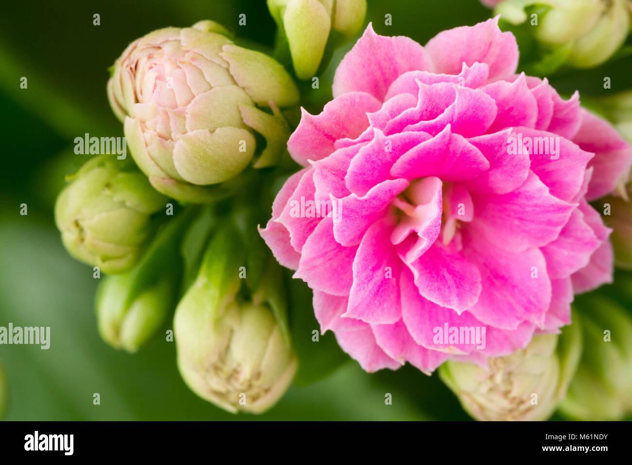 Close up of a Kalanchoe Blossfeldiana (flaming katy) house plant flower - Stock Image