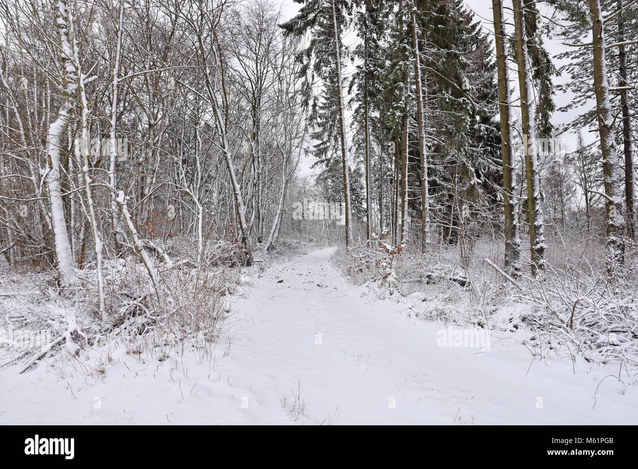 Snowy forest at the Swabian Alb. Baden-Wuerttemberg, Germany - Stock Image
