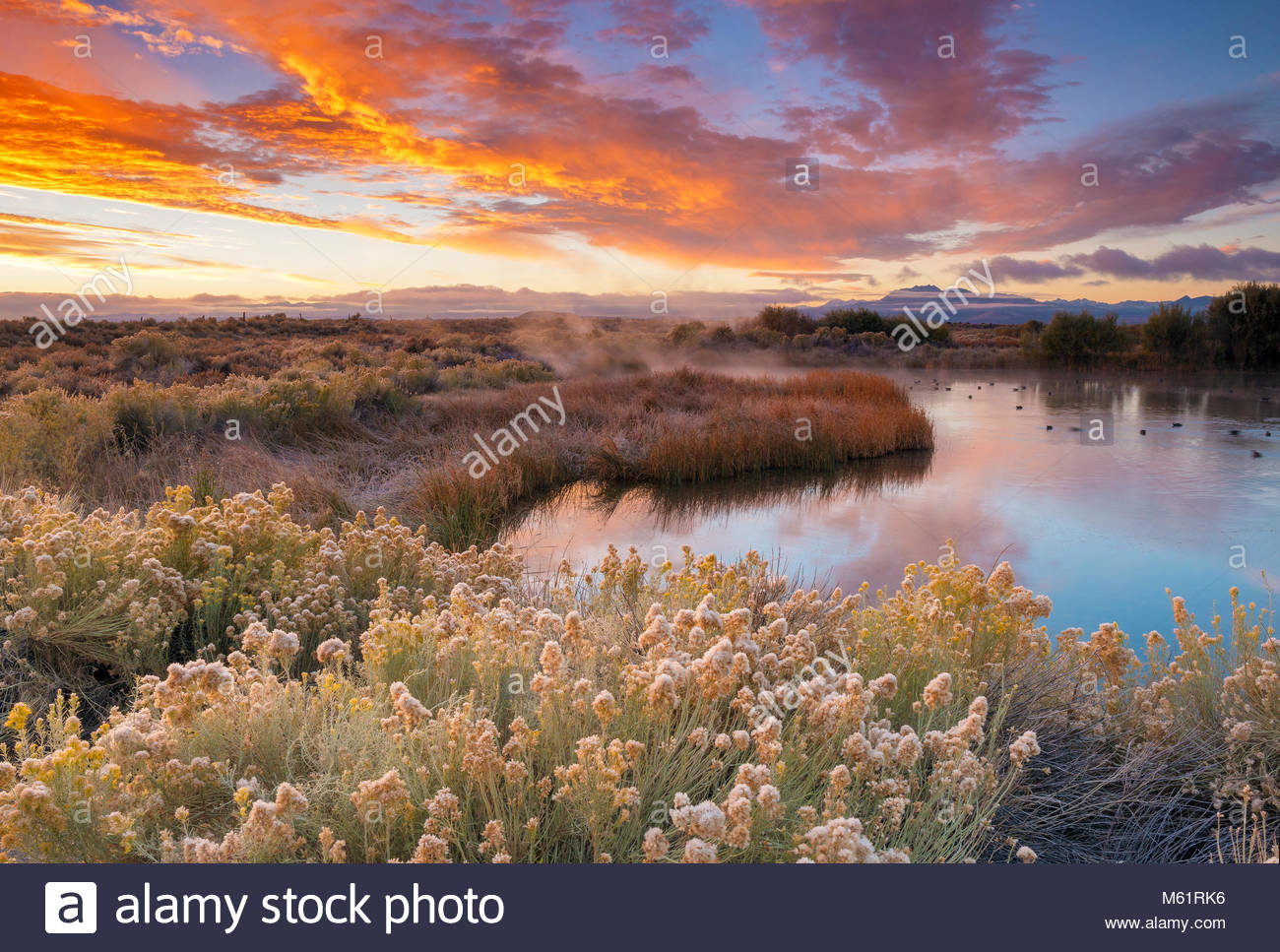 Dawn, Rabbitbrush, Warm Springs, Mono Basin National Forest Scenic Area, Inyo National Forest, California - Stock Image