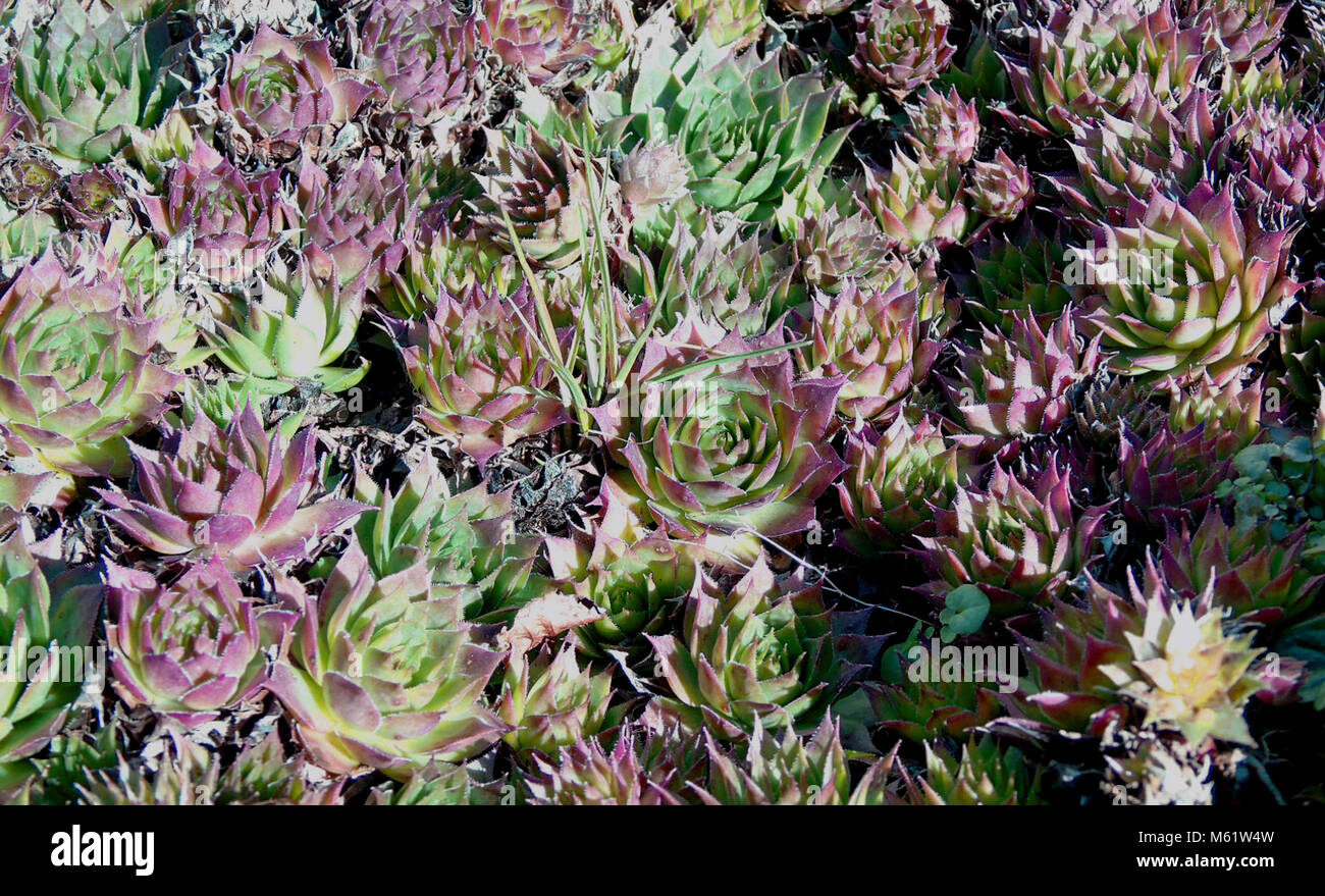 Purple Pink And Green Succulent Plants Uk Stock Photo Alamy