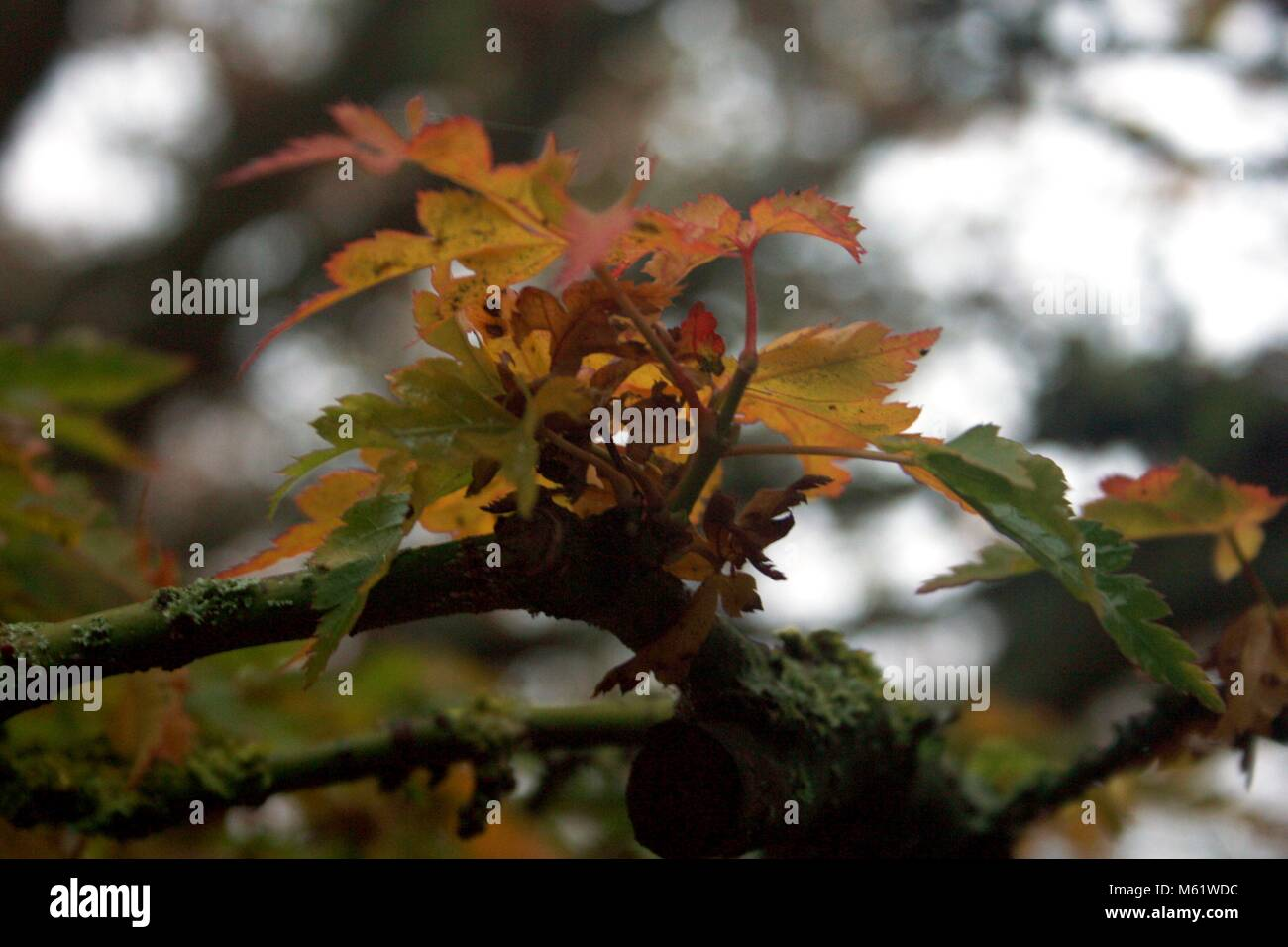 leaves in the autumn - Stock Image