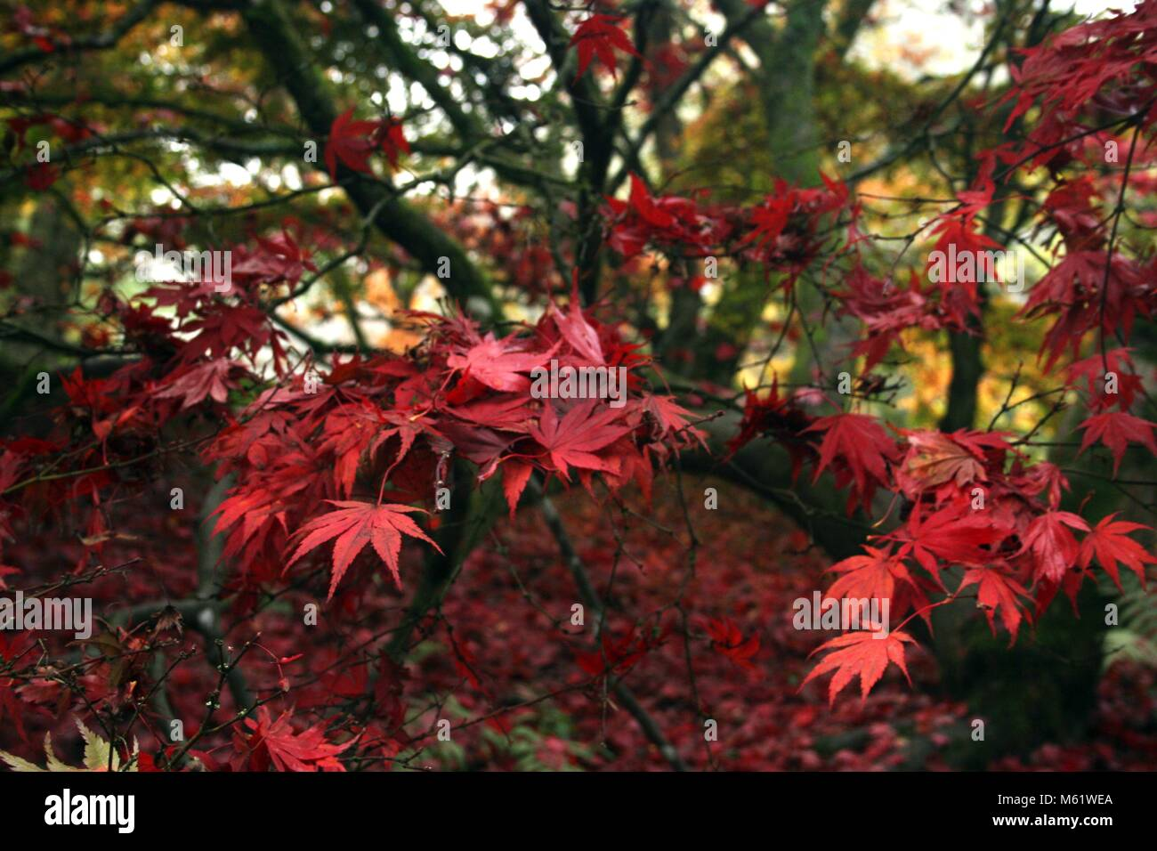 red leaves in autumn - Stock Image