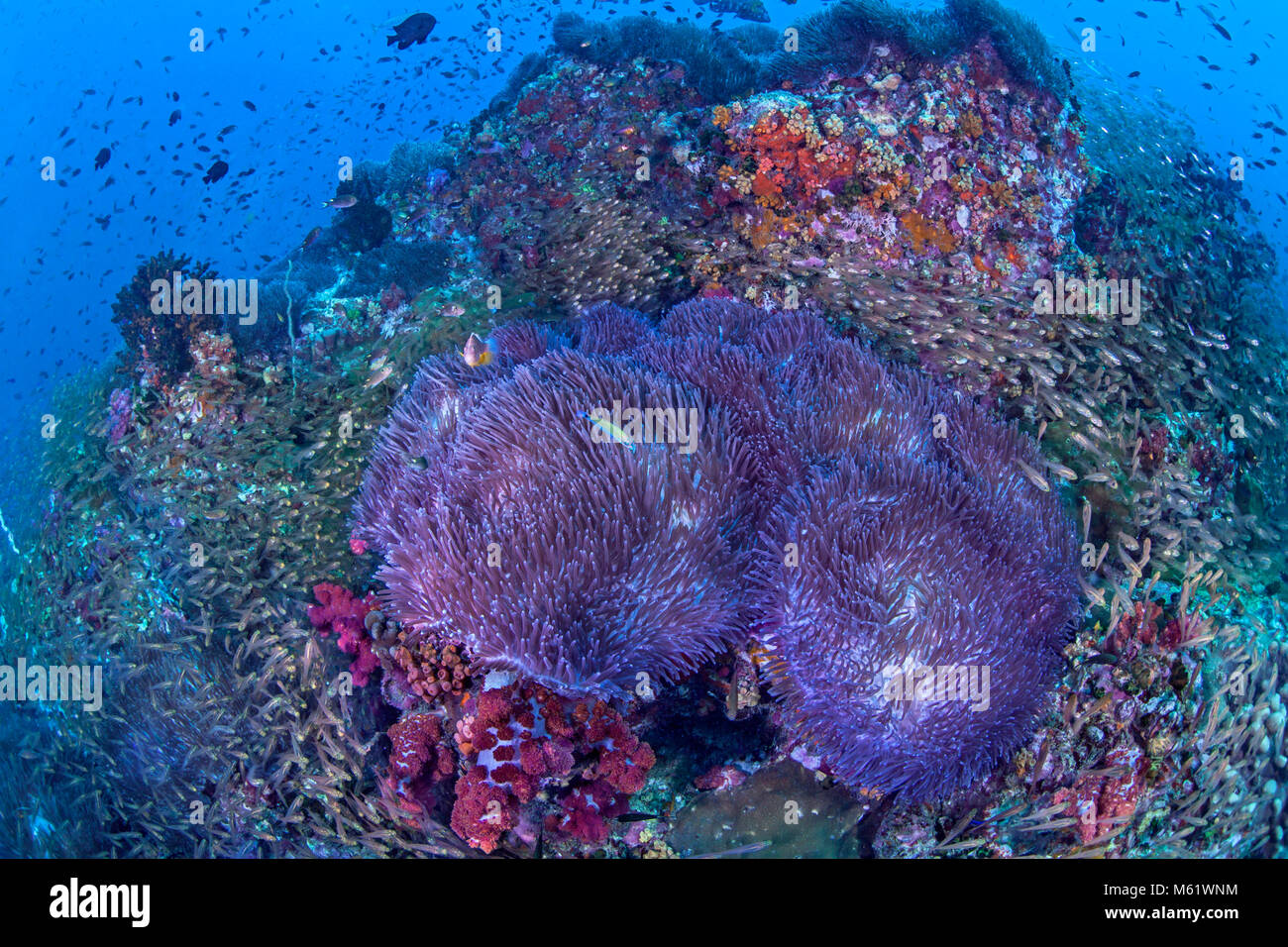 Glassfish swirl around bioluminescent anemones covering a coral reef on Richelieu Rock in the Andaman Sea off the - Stock Image