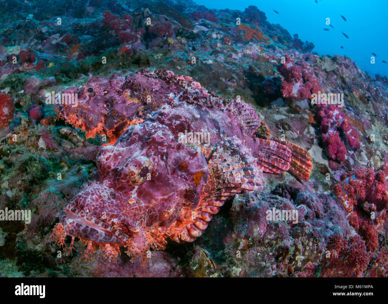 Pair of bearded scorpionfish have no where to hide on a dying coral reef. Richelieu Rock, Andaman Sea, Thailand. - Stock Image