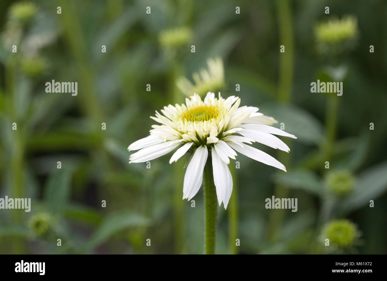 Echinacea purpurea flower. - Stock Image