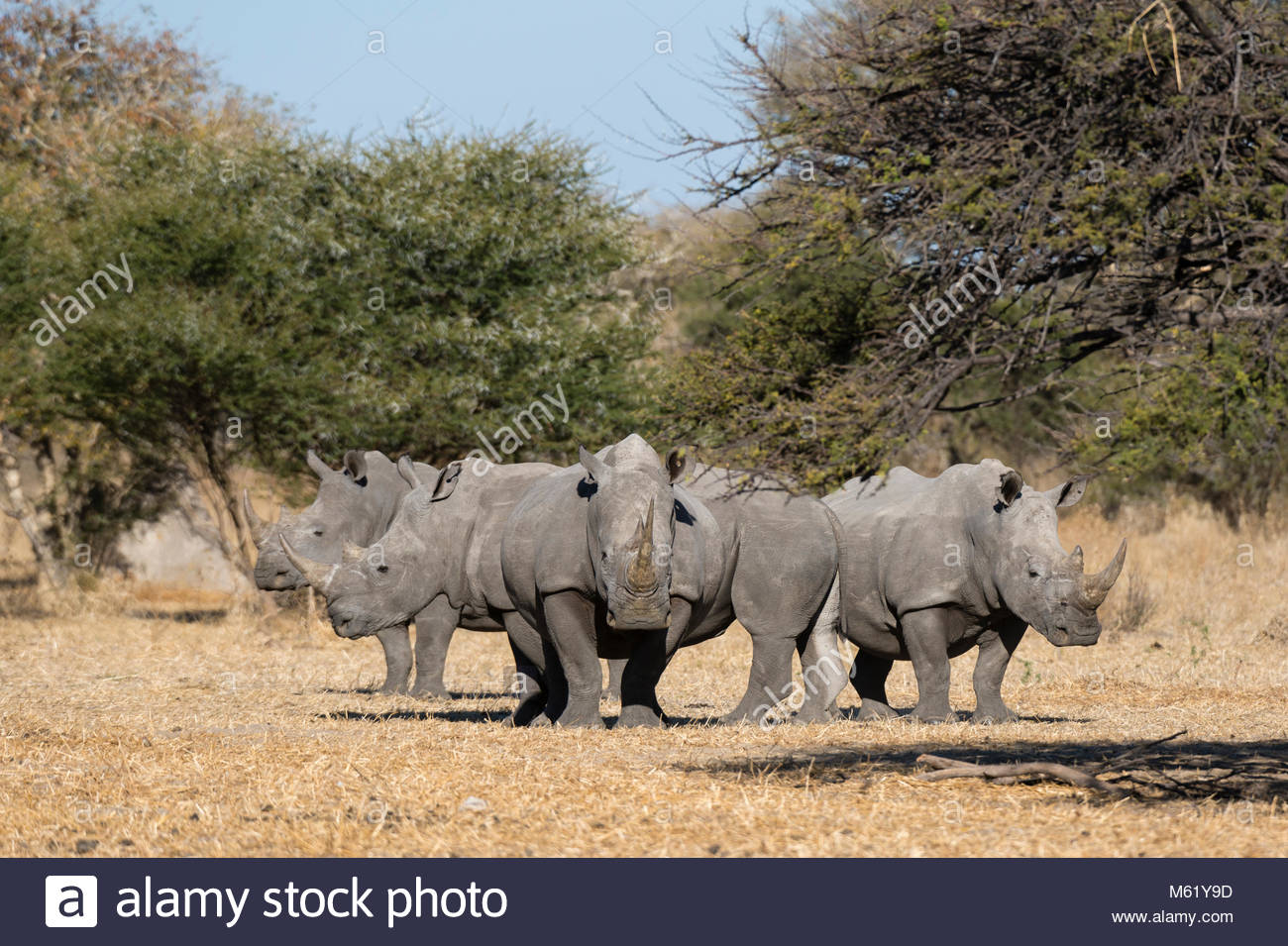 A group of four white rhinoceroses, Ceratotherium simum, standing in the savannah. - Stock Photo