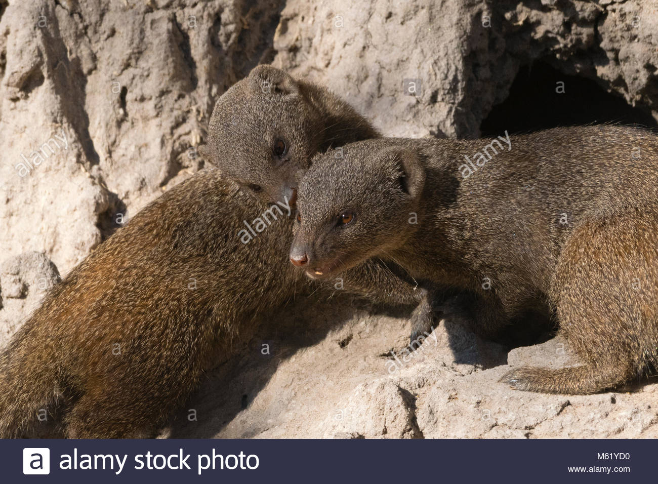 Two dwarf mongooses, Helogale parvula, on a termite mound. - Stock Image