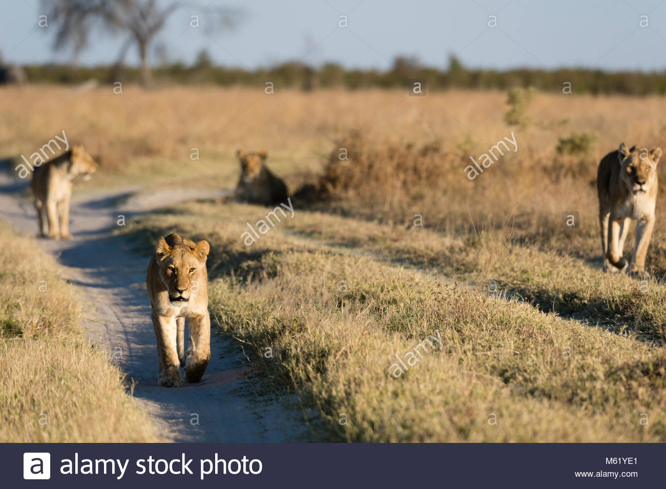 Lions, Panthera leo, from the Marsh Pride, walking in search of food. - Stock Image