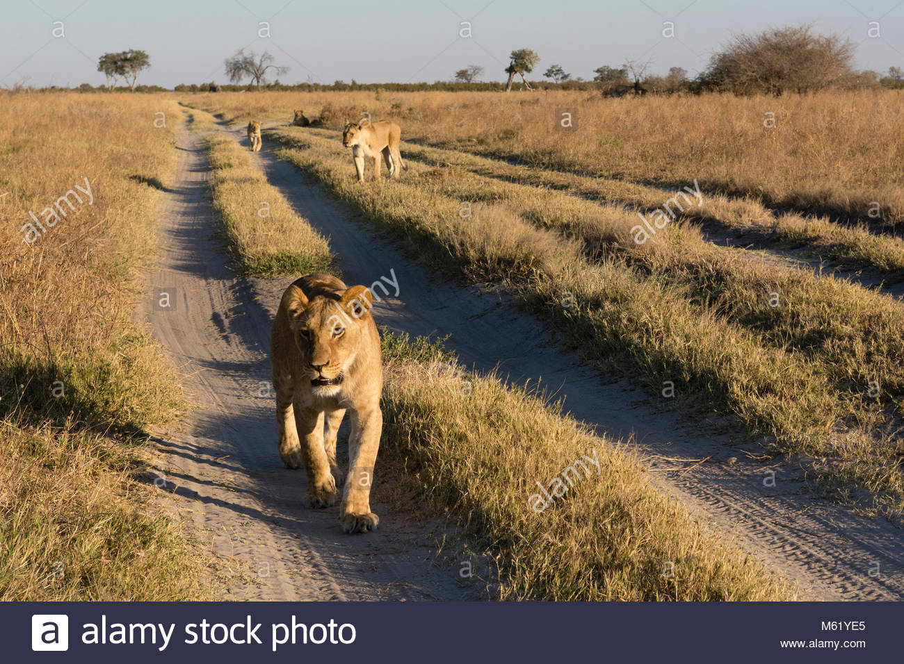 A close view of the lions, Panthera leo, from the Marsh Pride, walking in search of food. - Stock Image