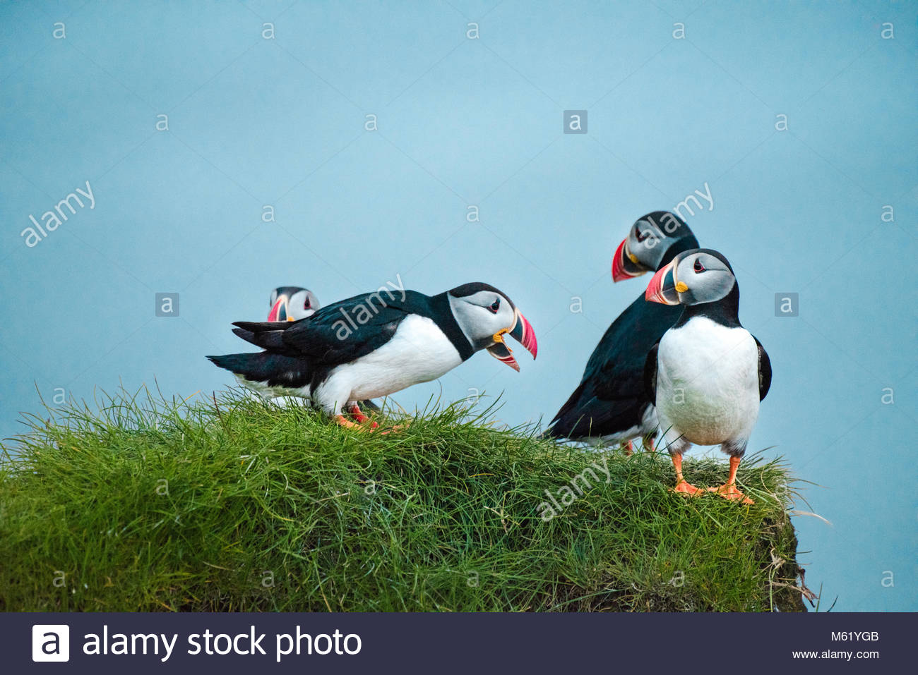 Shot of several Puffin, Fratercula, birds standing on top of a cliff. - Stock Image