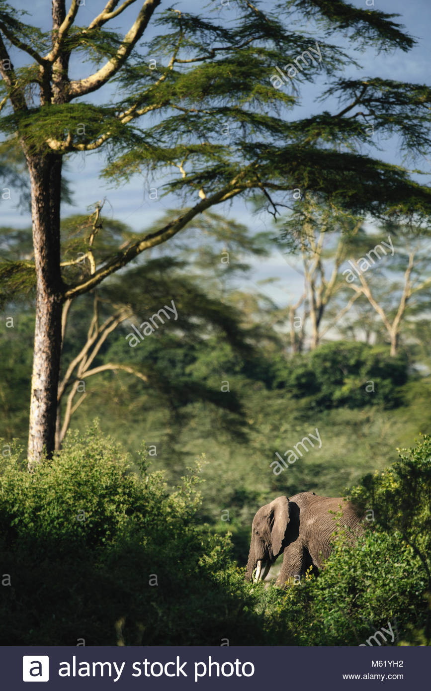 An African elephant, Loxodonta africana, in the Ngorongoro crater. - Stock Image