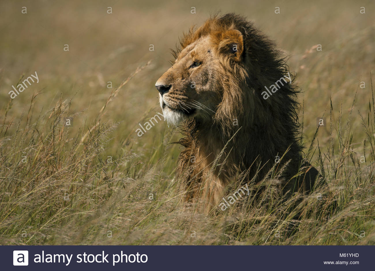 A male Lion, Panthera leo, resting in the long grass in Masai Mara National Park. - Stock Image