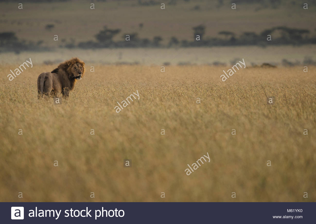A Lion, Panthera Leo, walks in dry grass in Masai Mara National Reserve. - Stock Image