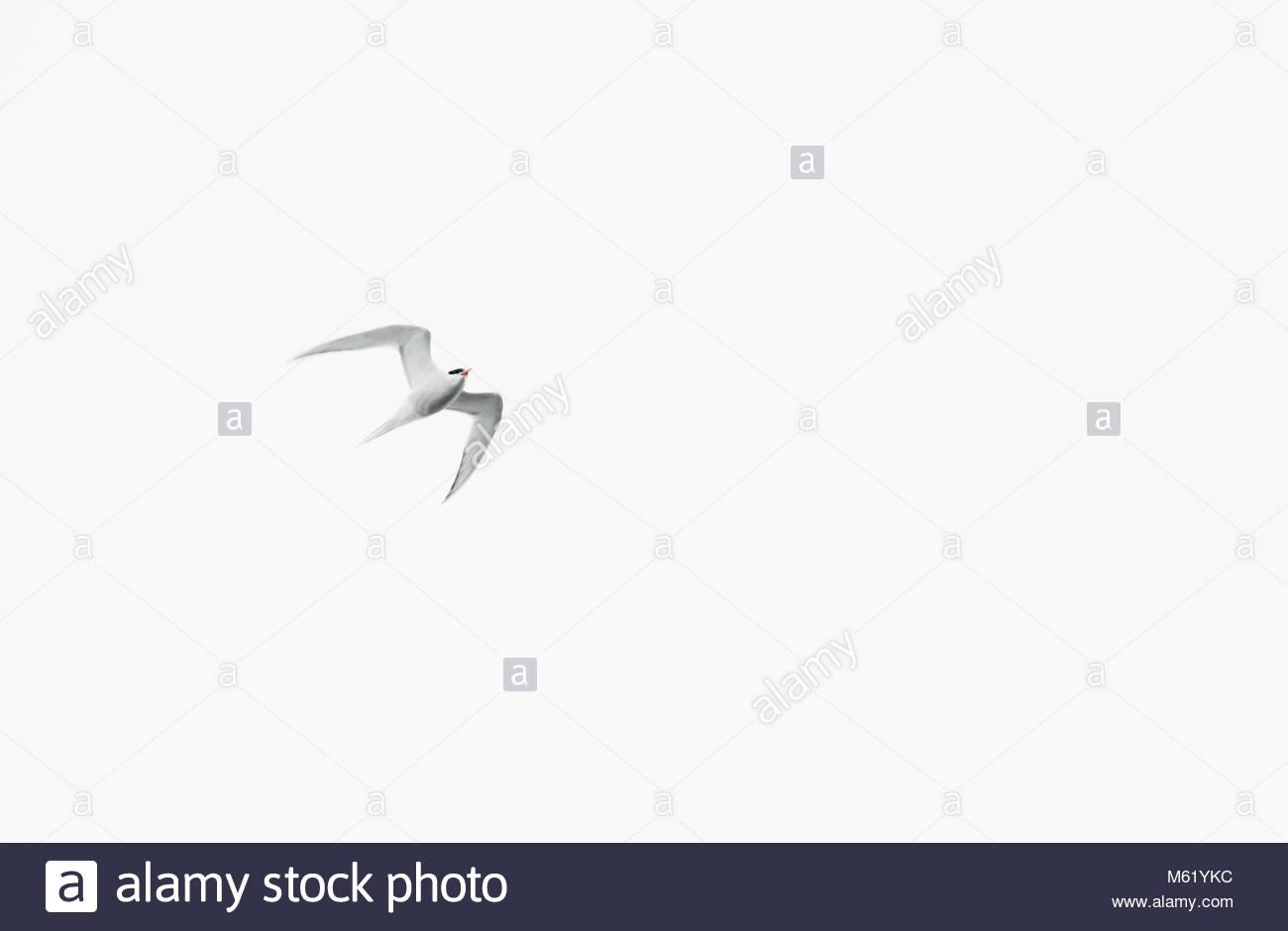 An Ivory gull, Pagophila Eburnea, flying in Svalbard. - Stock Image