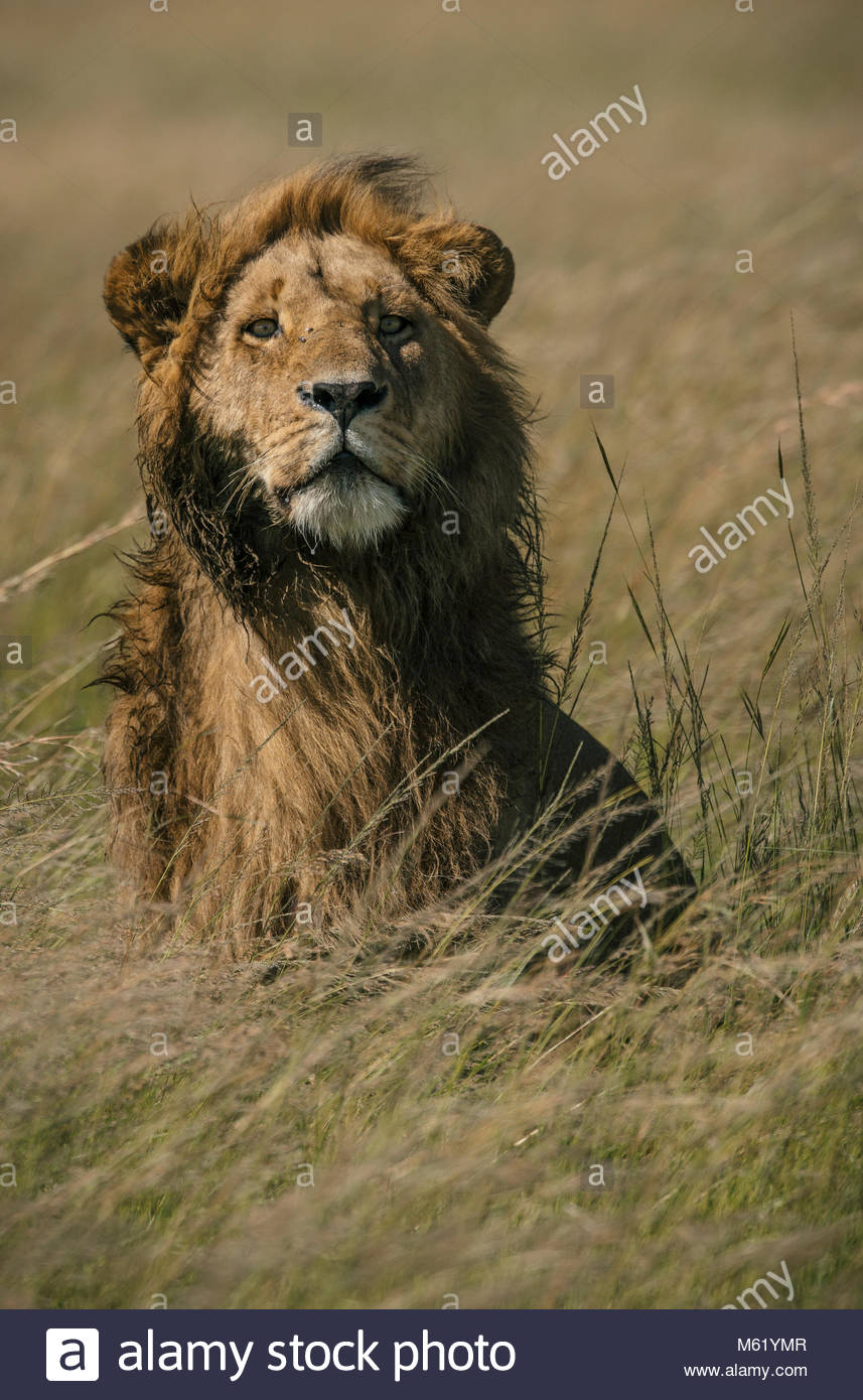 A male Lion, Panthera leo, standing in the long grass in Masai Mara National Reserve. - Stock Image