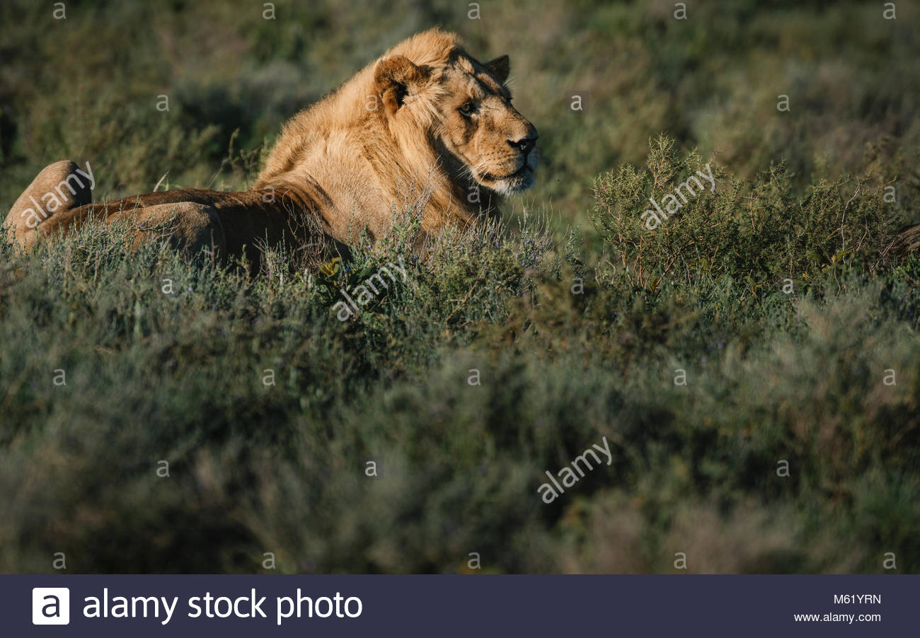 Portrait of a male Lion, Panthera leo, early in the morning. - Stock Image