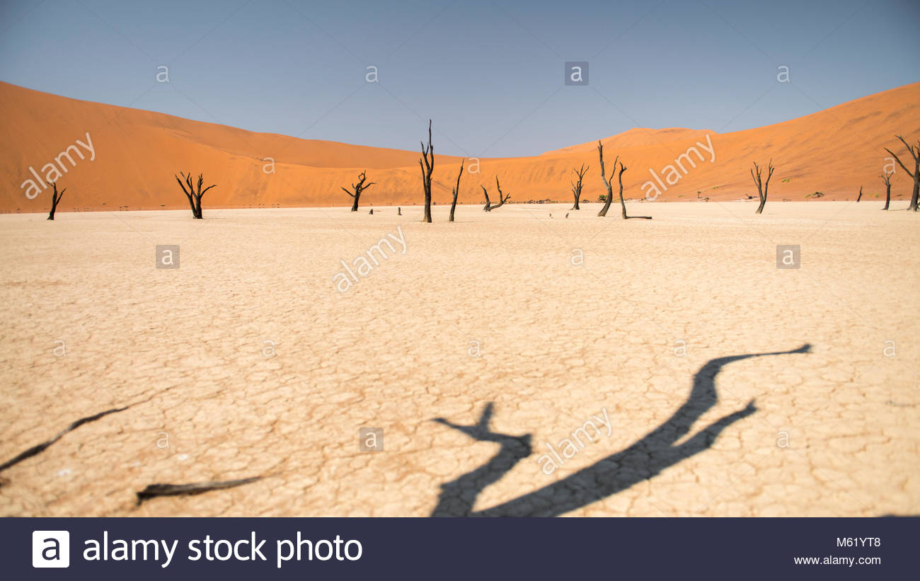 Petrified acacia trees stand near red sand dunes in Sossusvlei. - Stock Image