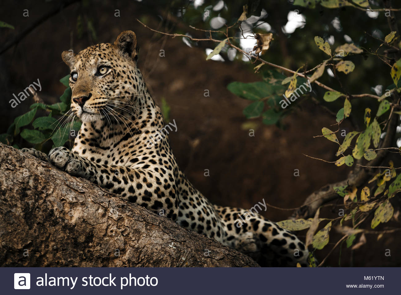 A male African leopard, Panthera pardus, rests on a tree branch in South Luangwa. - Stock Image