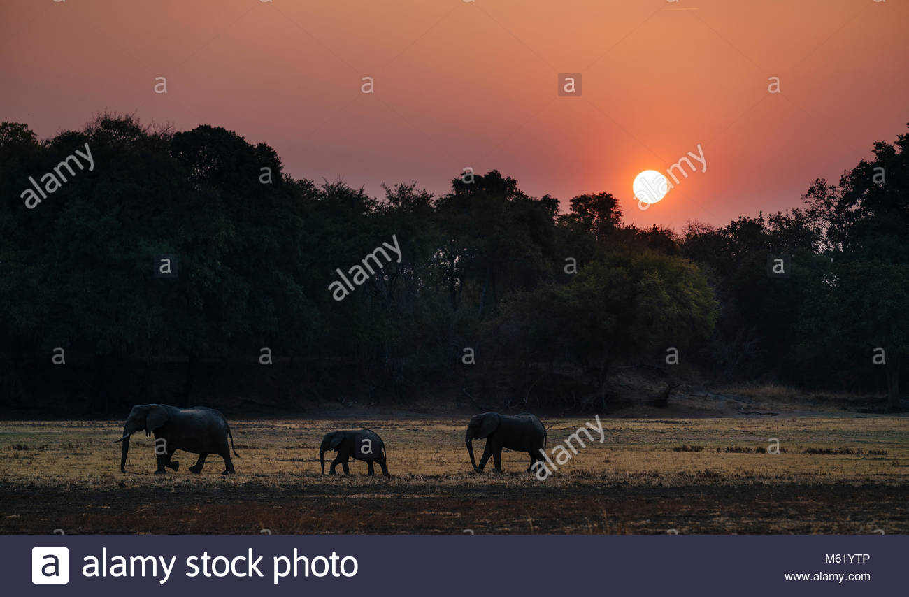 Herd of African elephant, Loxodonta africana, walking at sunset in South Luangwa. - Stock Image