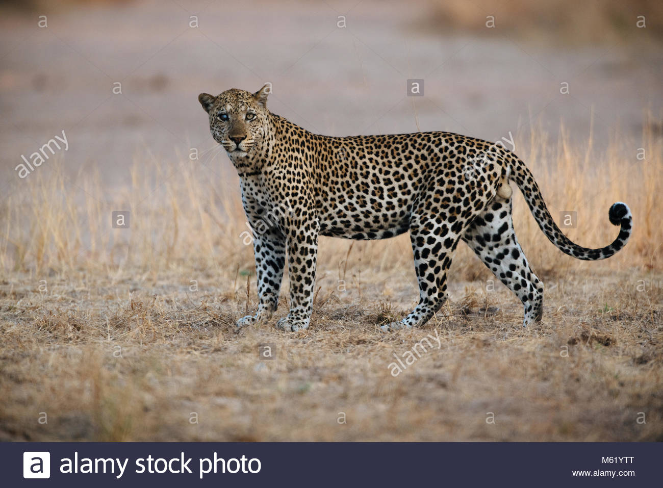 A male African leopard, Panthera pardus, walking in South Luangwa. Stock Photo