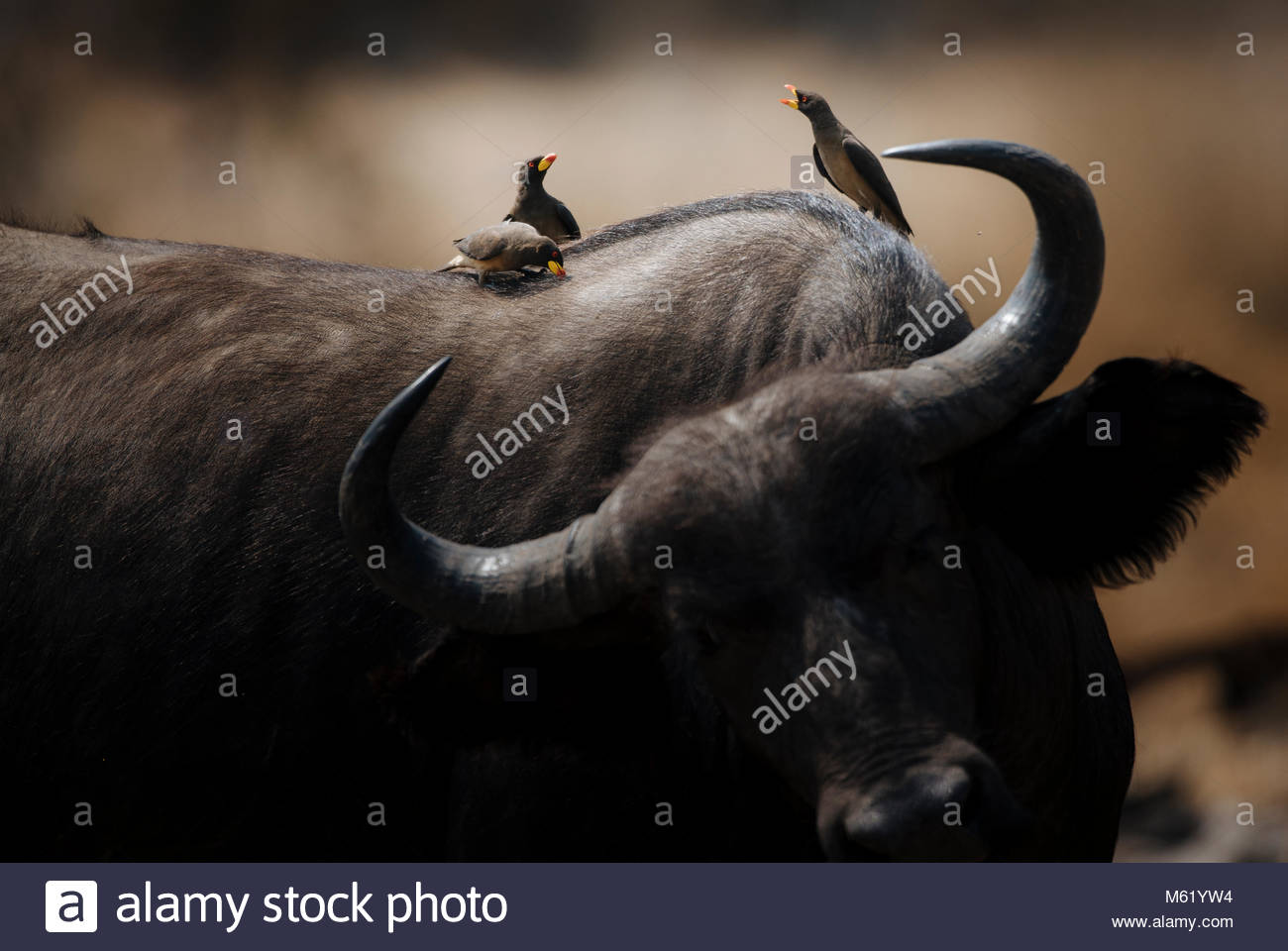 Yellow billed oxpecker, Buphagus africanus, birds perch on the back of a cape buffalo. - Stock Image