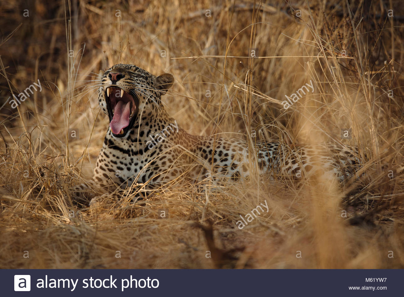 Portrait of a Leopard, Panthera pardus, yawning in long grasses in South Luangwa. - Stock Image
