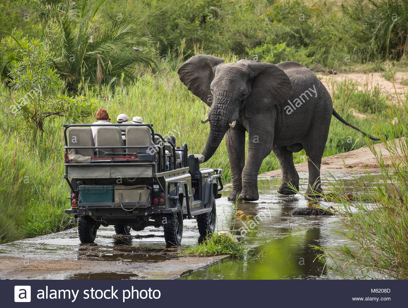 A large bull African elephant, Loxodonta africana, stands defiantly in front of a safari vehicle. - Stock Image