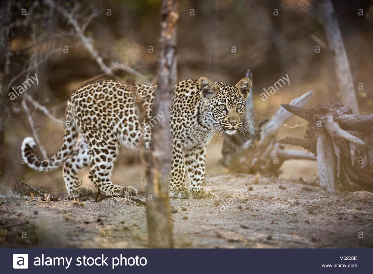 A Leopard, Panthera pardus, cub walking through the bush. - Stock Image