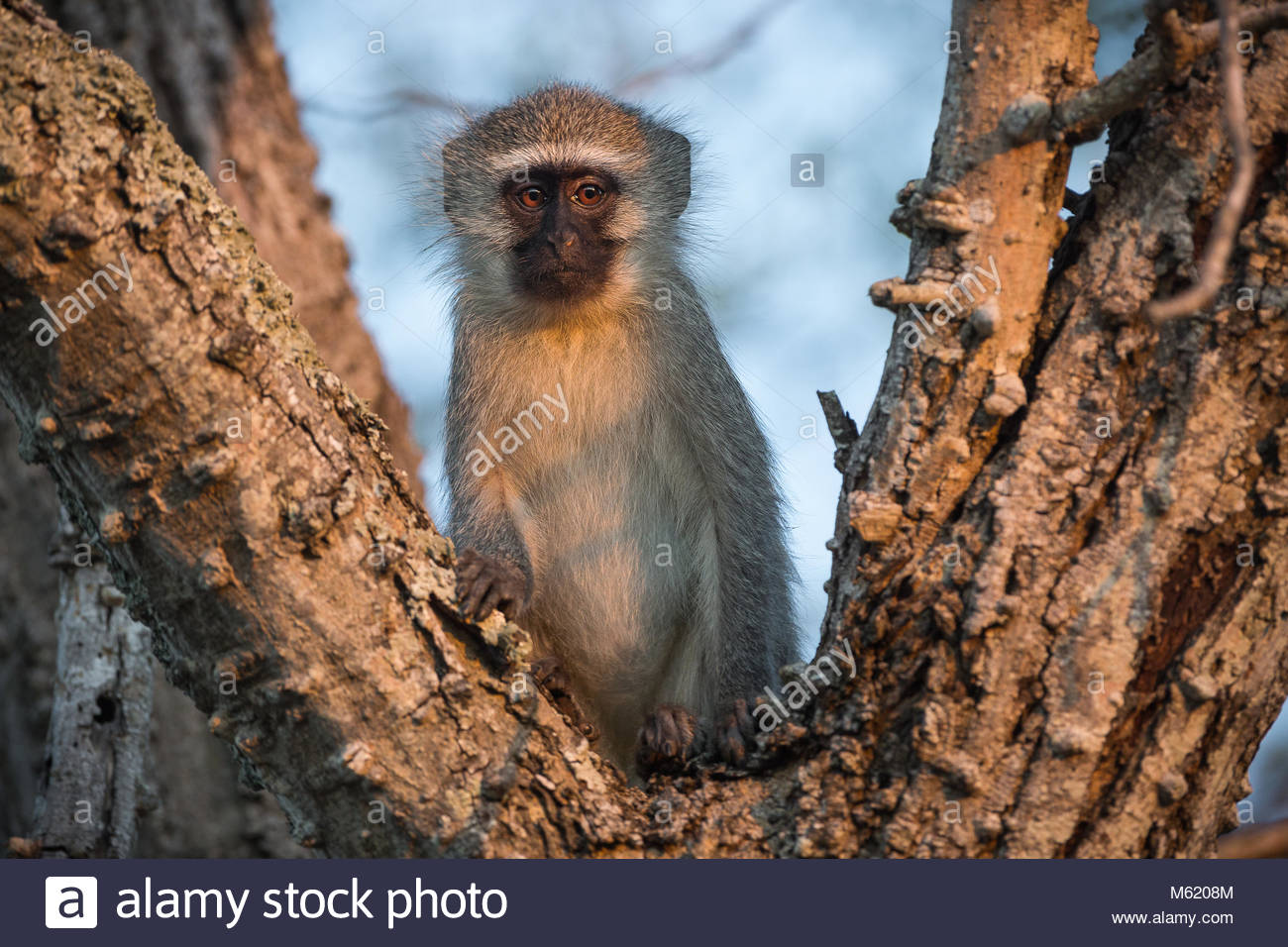 A Vervet monkey, Chlorocebus pygerythrus, in warm evening light in a tree. - Stock Image