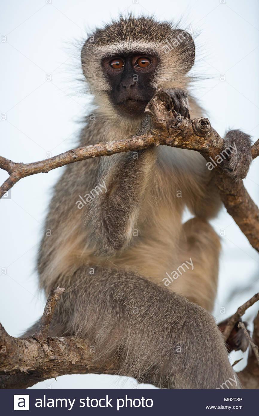 A Vervet monkey, Chlorocebus pygerythrus, upright and holding onto tree branches. - Stock Image