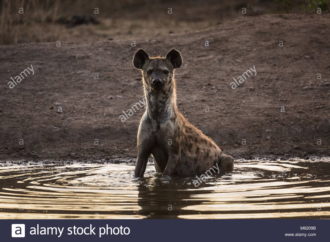 A Spotted hyena, Crocuta crocuta, sitting in a water hole at dusk. - Stock Image
