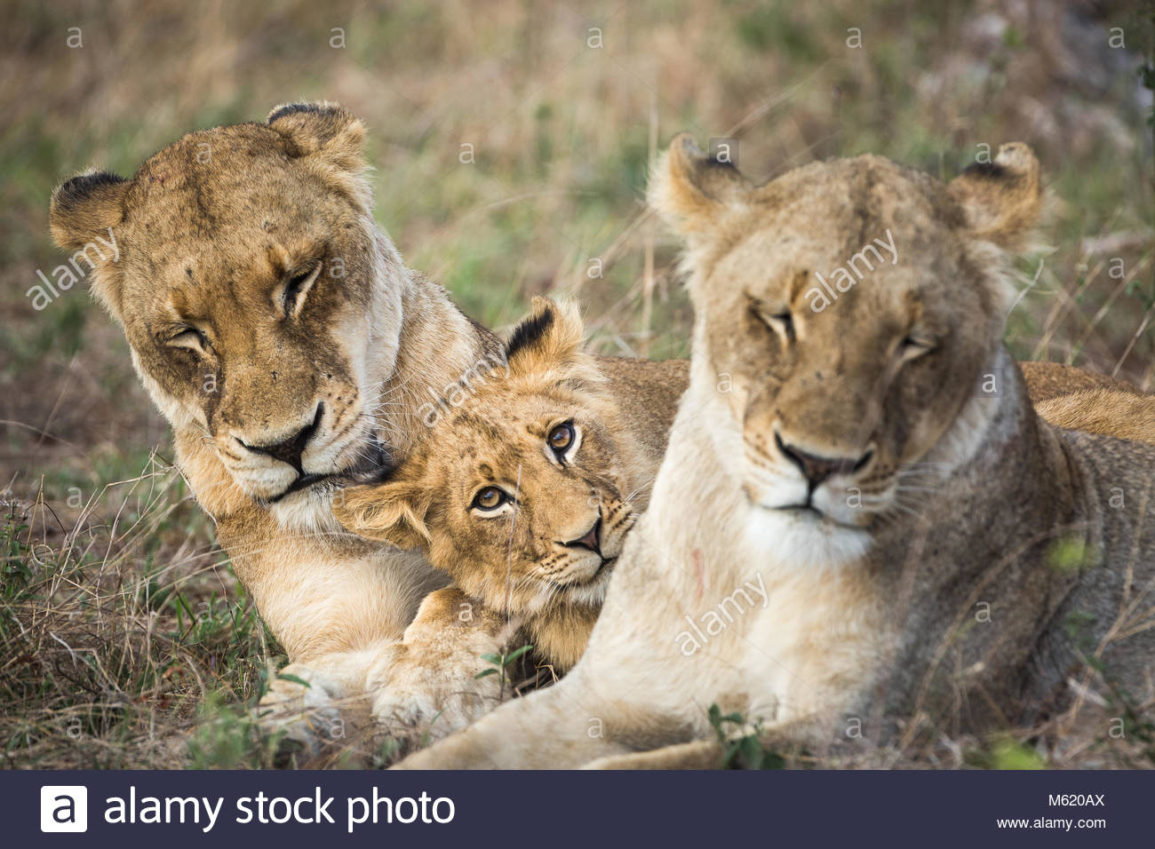 A Lion cub, Panthera leo, resting between two females. - Stock Image