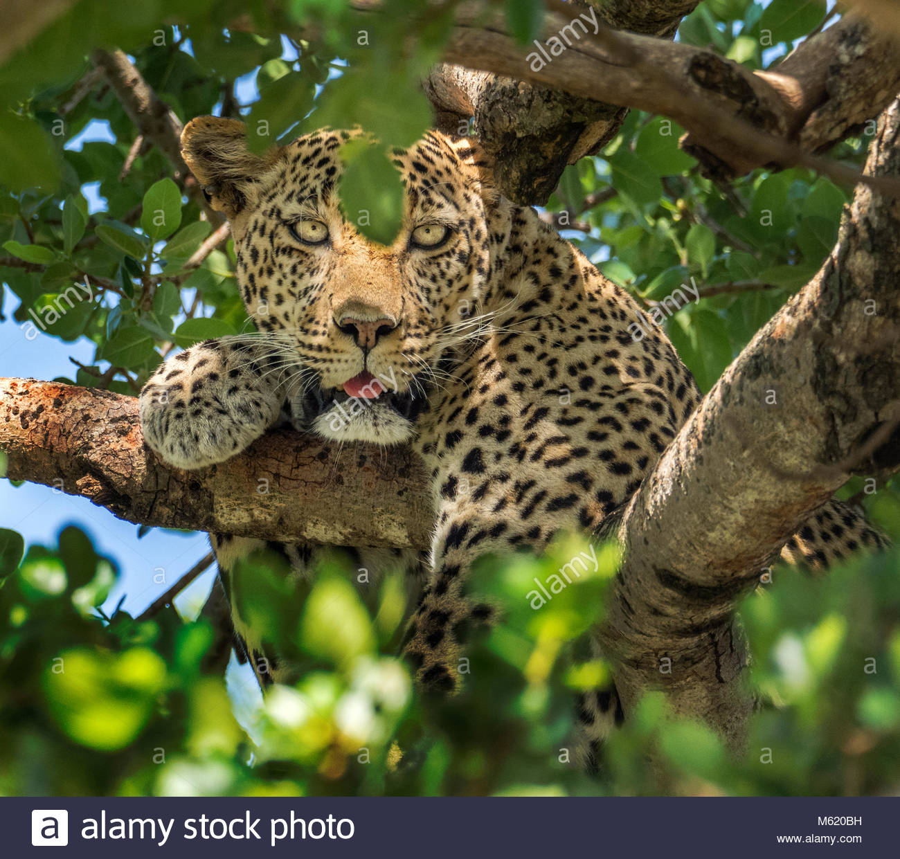 A Leopard, Panthera Pardus, rests in a tree. - Stock Image