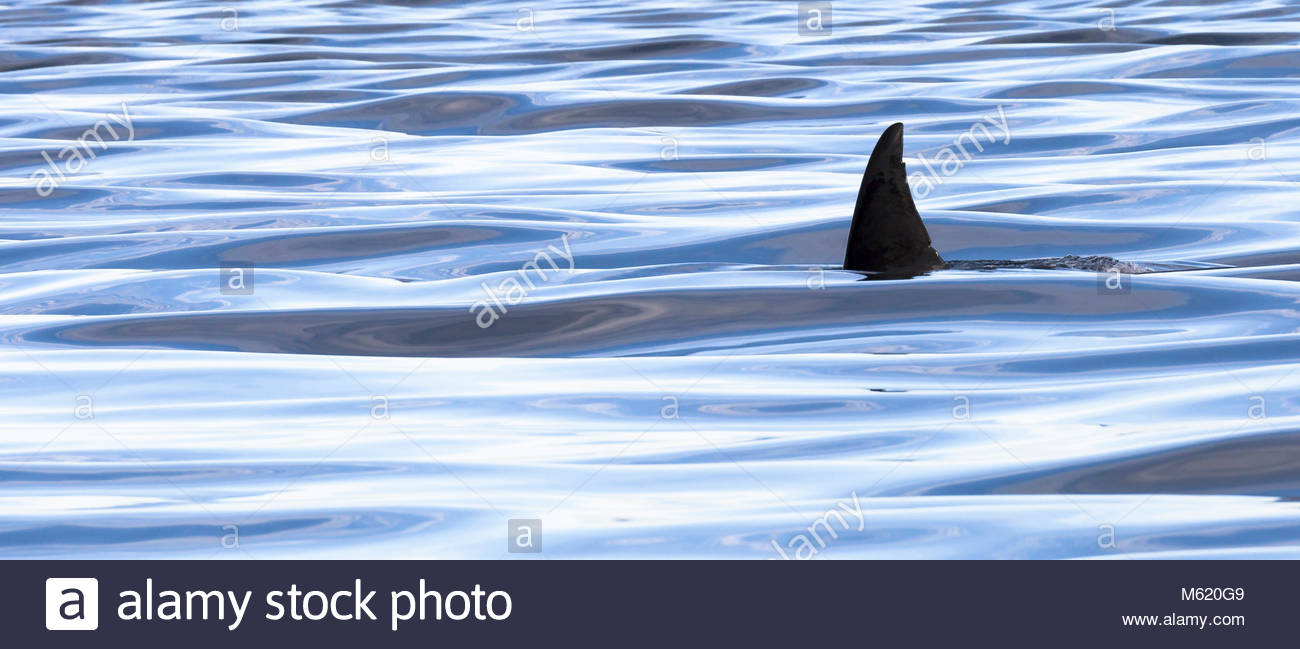 The dorsal fin of a killer whale, Orcinus orca. - Stock Image