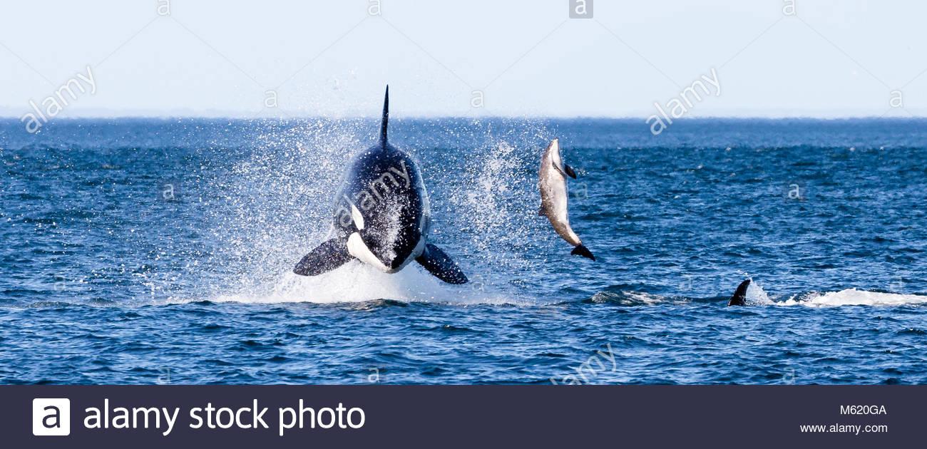 A breaching 7-ton female killer whale, Orcinus Orca, pummels a harbor porpoise. - Stock Image