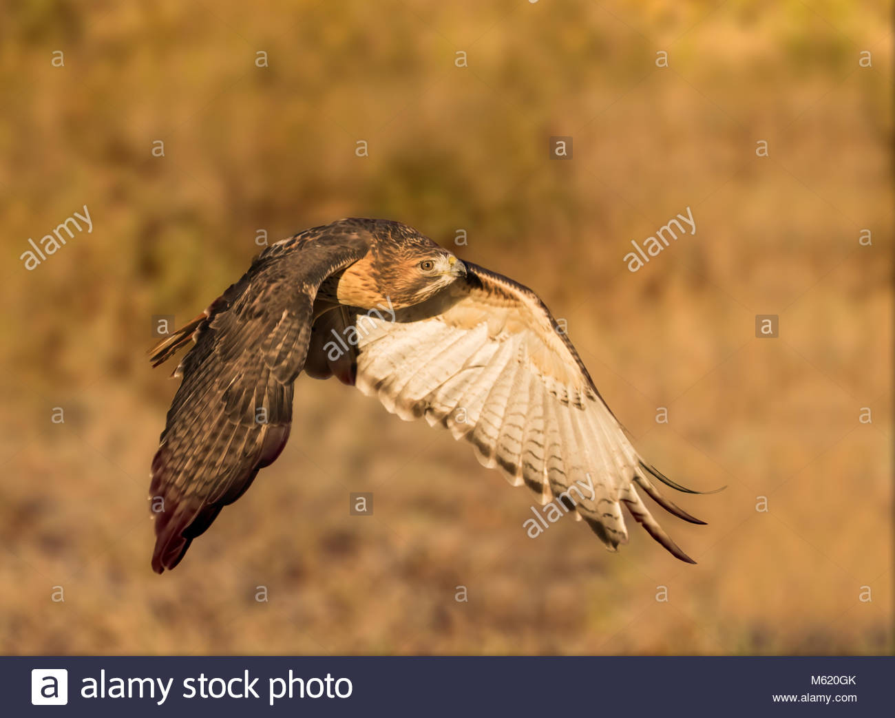 A red-tailed hawk in wings down formation flies in the early morning sunrise light. - Stock Image