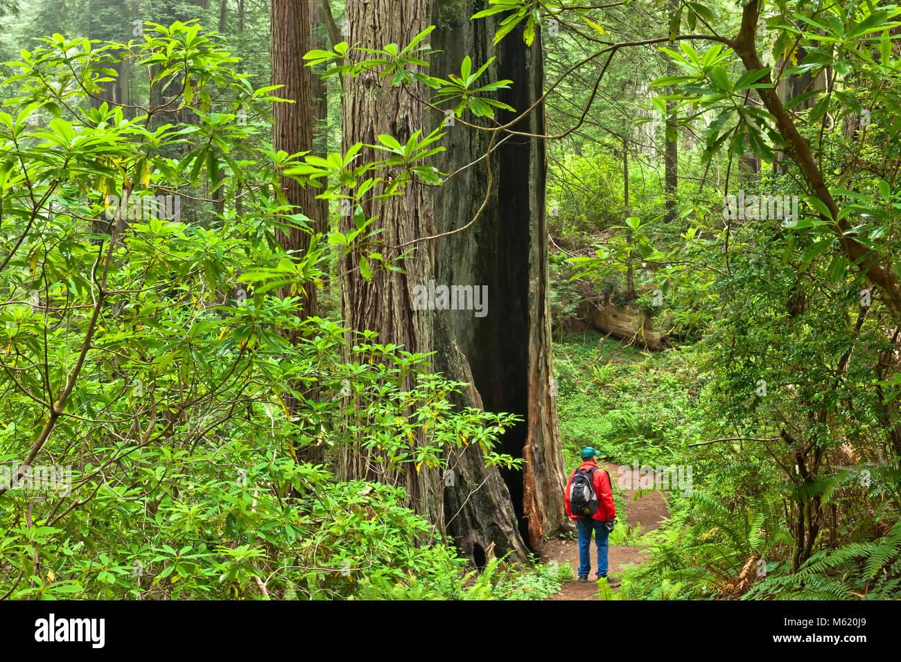 Redwood Forest 'Sequoia sempervirens',  Rhodondrons, Sword ferns, Damnation Creek Trail. - Stock Image
