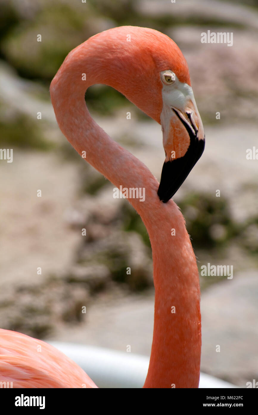 Caribbean Flamingo (Phoenicopterus ruber), Dolphin Academy and animal park, Curacao, Netherlands Antilles, Caribbean - Stock Image