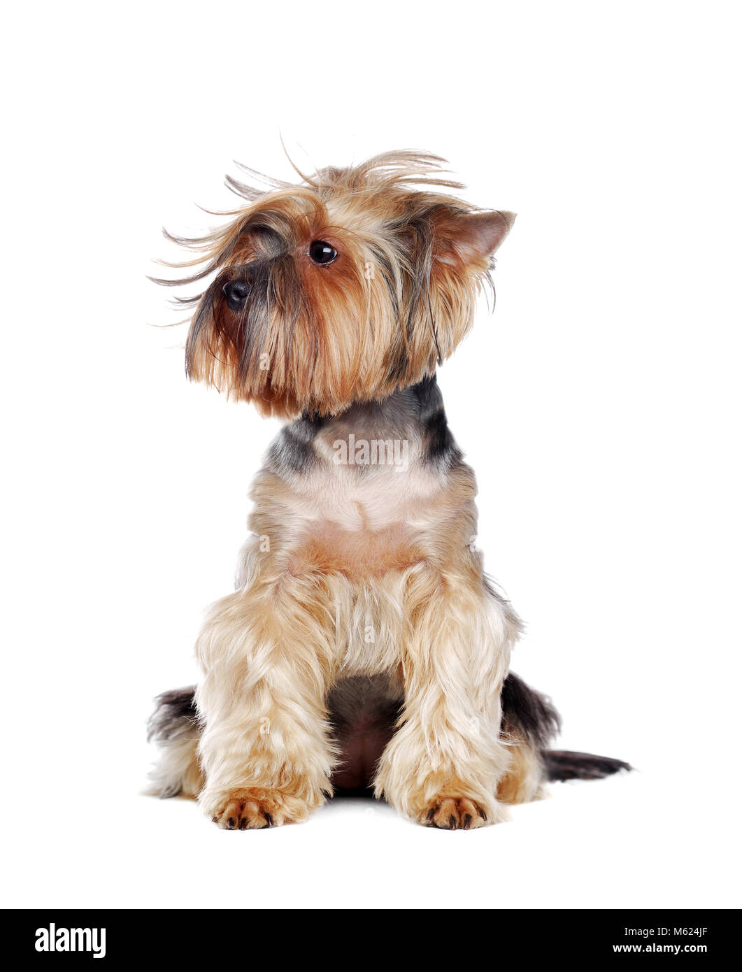 Yorkshire Terrier with a Tousled hairstyle - Stock Image
