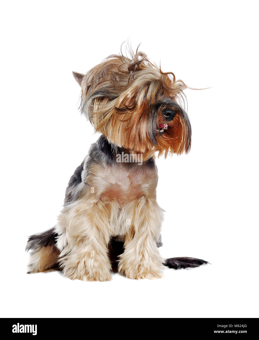 Yorkshire Terrier with tousled hair isolated over white background - Stock Image