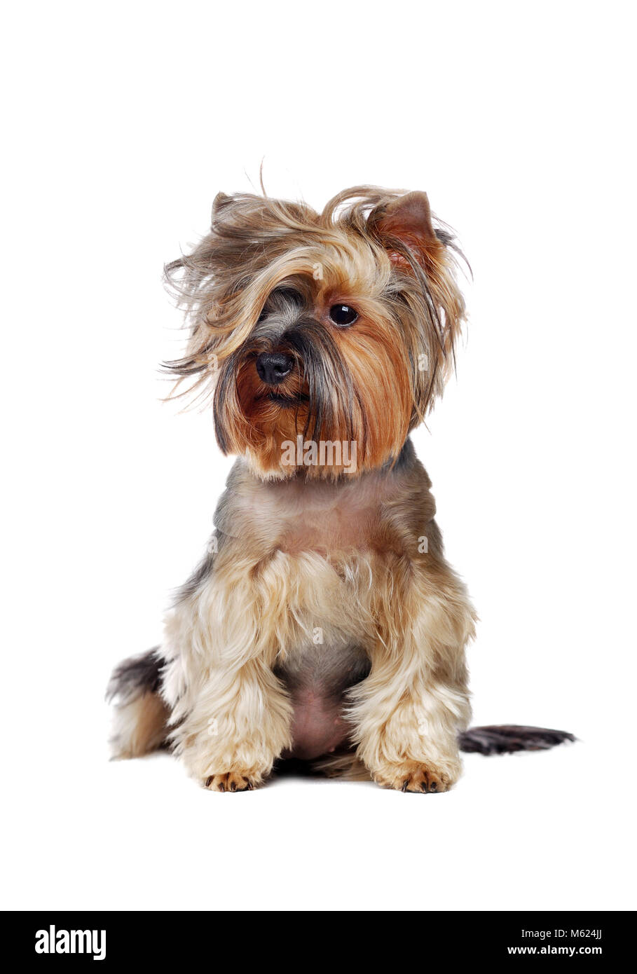 Yorkshire Terrier with wavy hairstyle isolated over white background - Stock Image