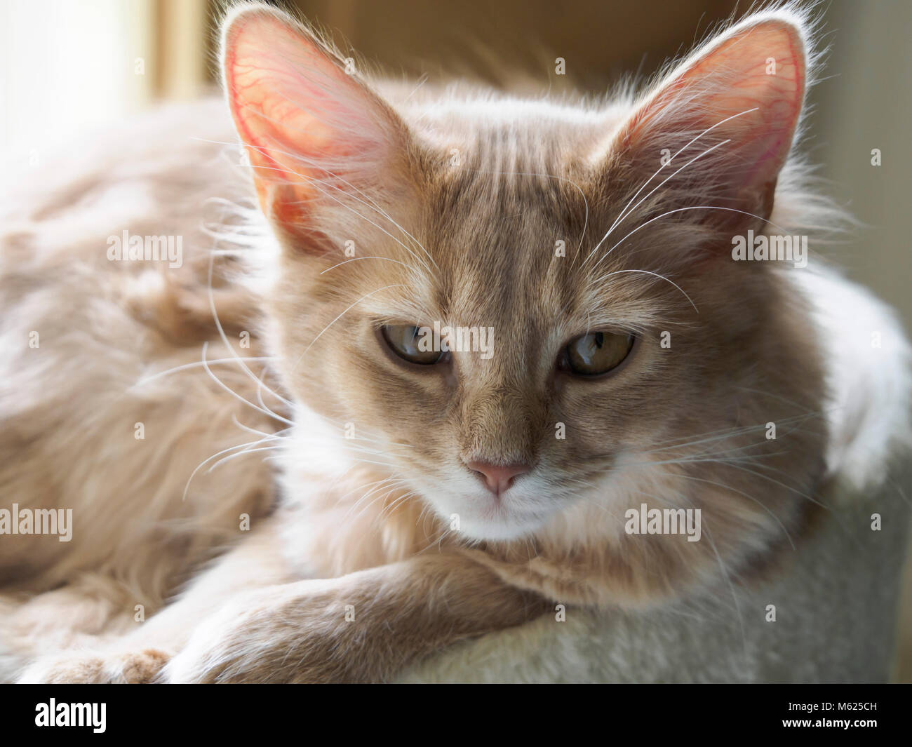 Somali breed cat. Fawn kitten, pedigree, long hair breed. Four months old. - Stock Image