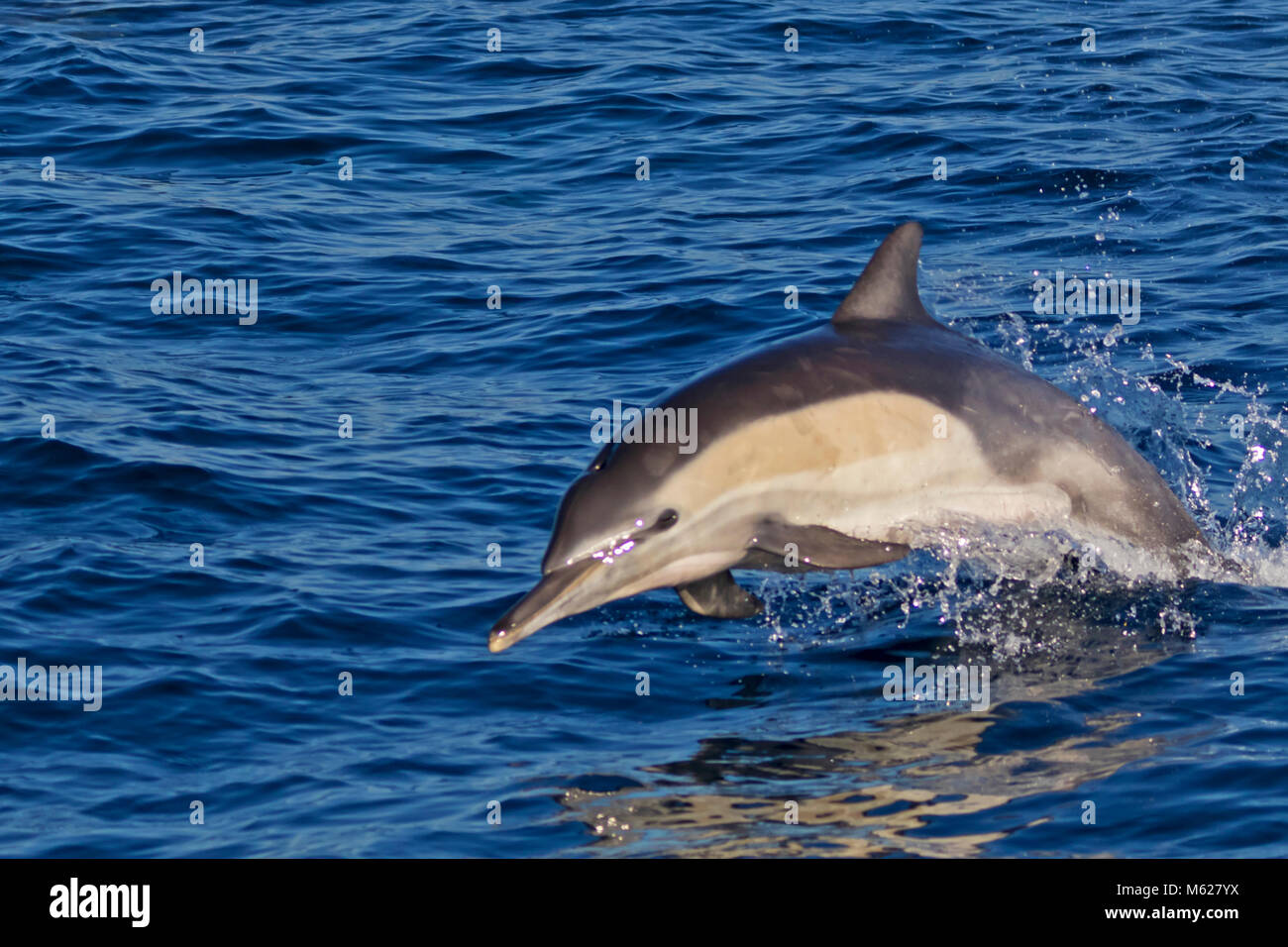 Dolphin jumping out of the Pacific Ocean - Stock Image