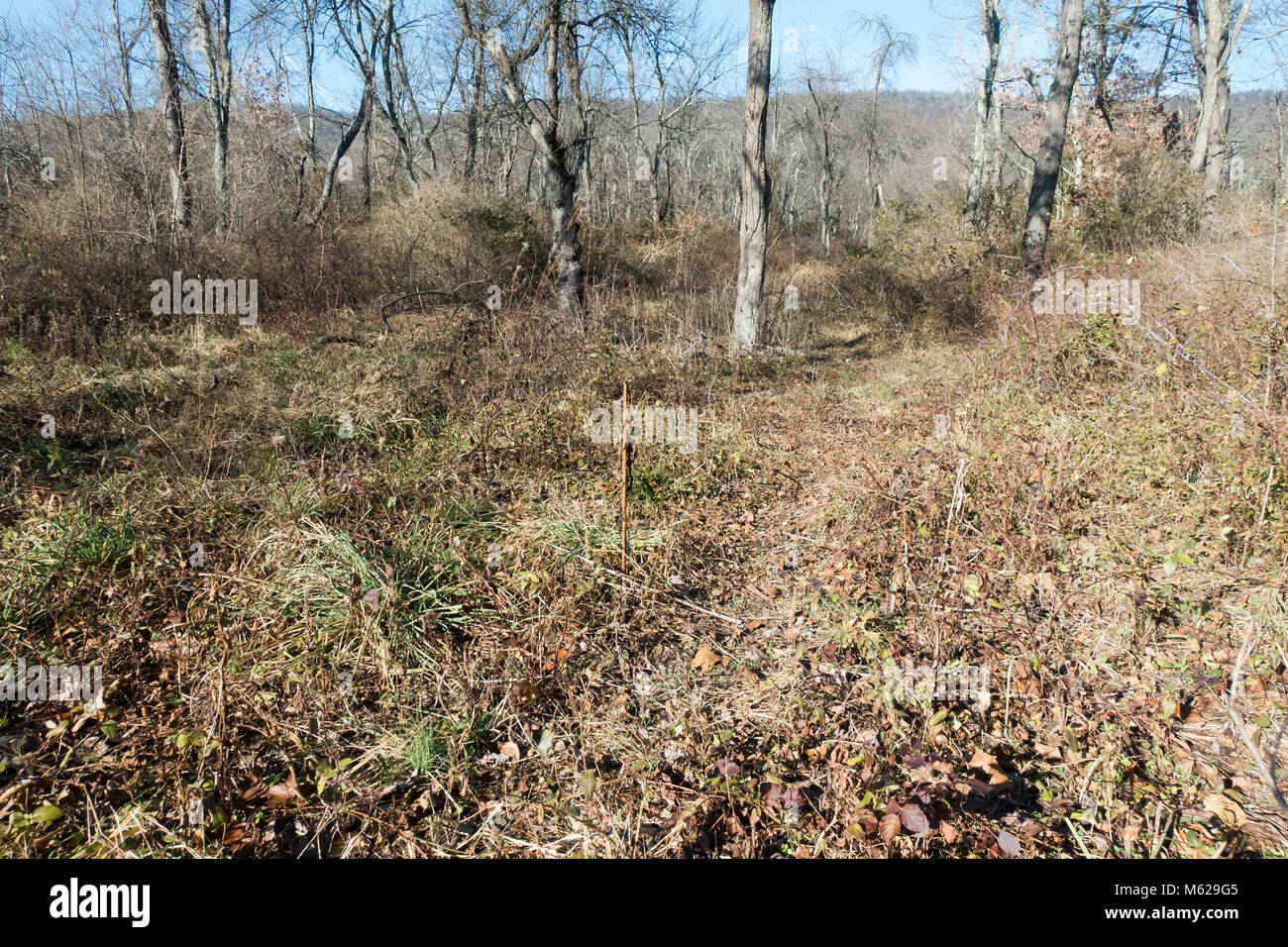 Walking trail in wooded Appalachian forest during early winter, showing shrubs and trees in dormancy - Pennsylvania - Stock Image