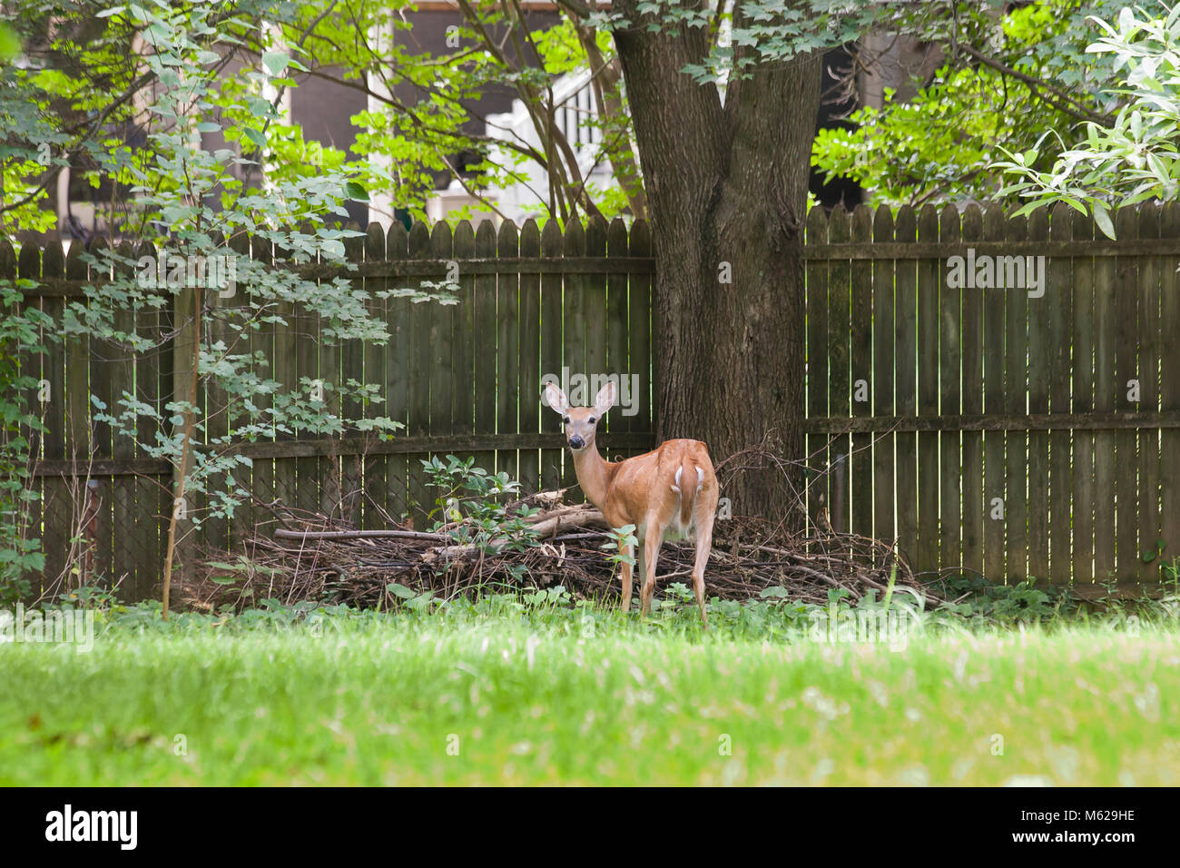 White-tailed deer (Odocoileus virginianus) near house fence - Virginia USA - Stock Image